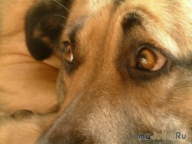 дворова собака